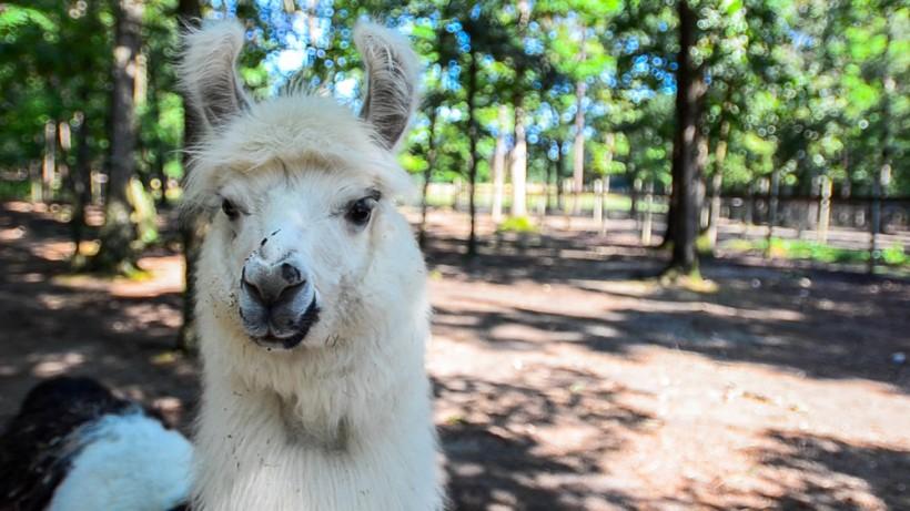 Llama fibre - perfect insulation